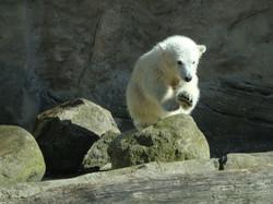 Eisbärbaby Lili
