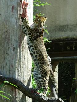Leopard Julius  (20)