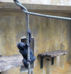 Gorilla Mädchen Tara  (1)
