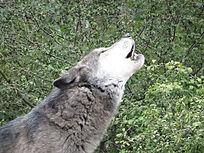Wolf  (2).jpg