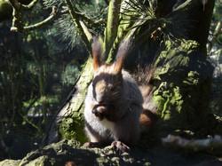 Sibirisches Eichhörnchen