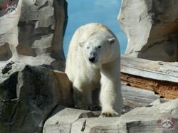 Eisbären (4)