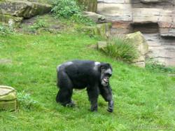 Schimpanse Max (2)