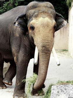 Elefantenbulle Nikolai  (5)