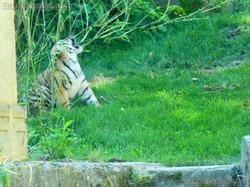 Tiger  (45)