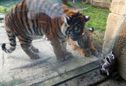 Wuschel mit Tiger Jungtier  (11)