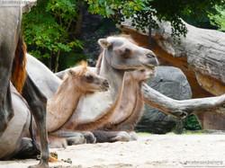 Kamele  (3)