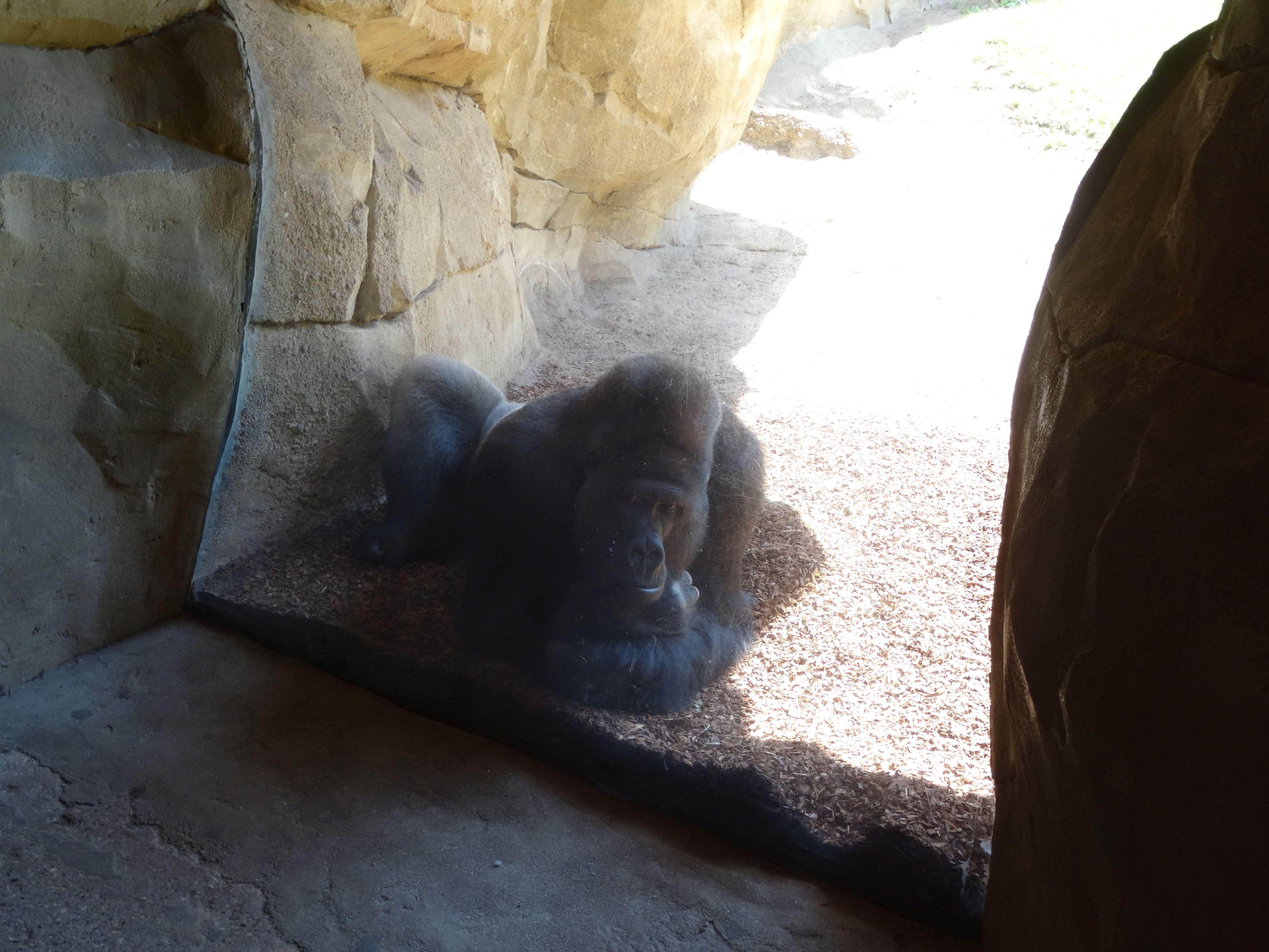 Gorilla  (18)