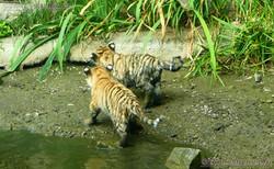 Tiger Jungtiere  (53)