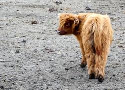 Highland Rinder  (5)