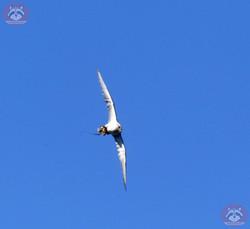 Graifvogel (2)