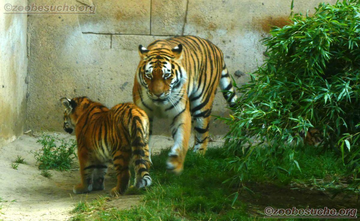 Tigerin Alexa mit Jungtieren  (8)