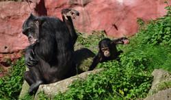 Schimpanse mit Baby 2