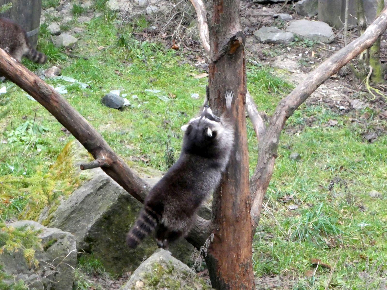 Waschbären  (8)