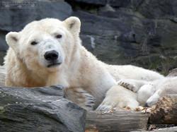 Eisbär  (89)