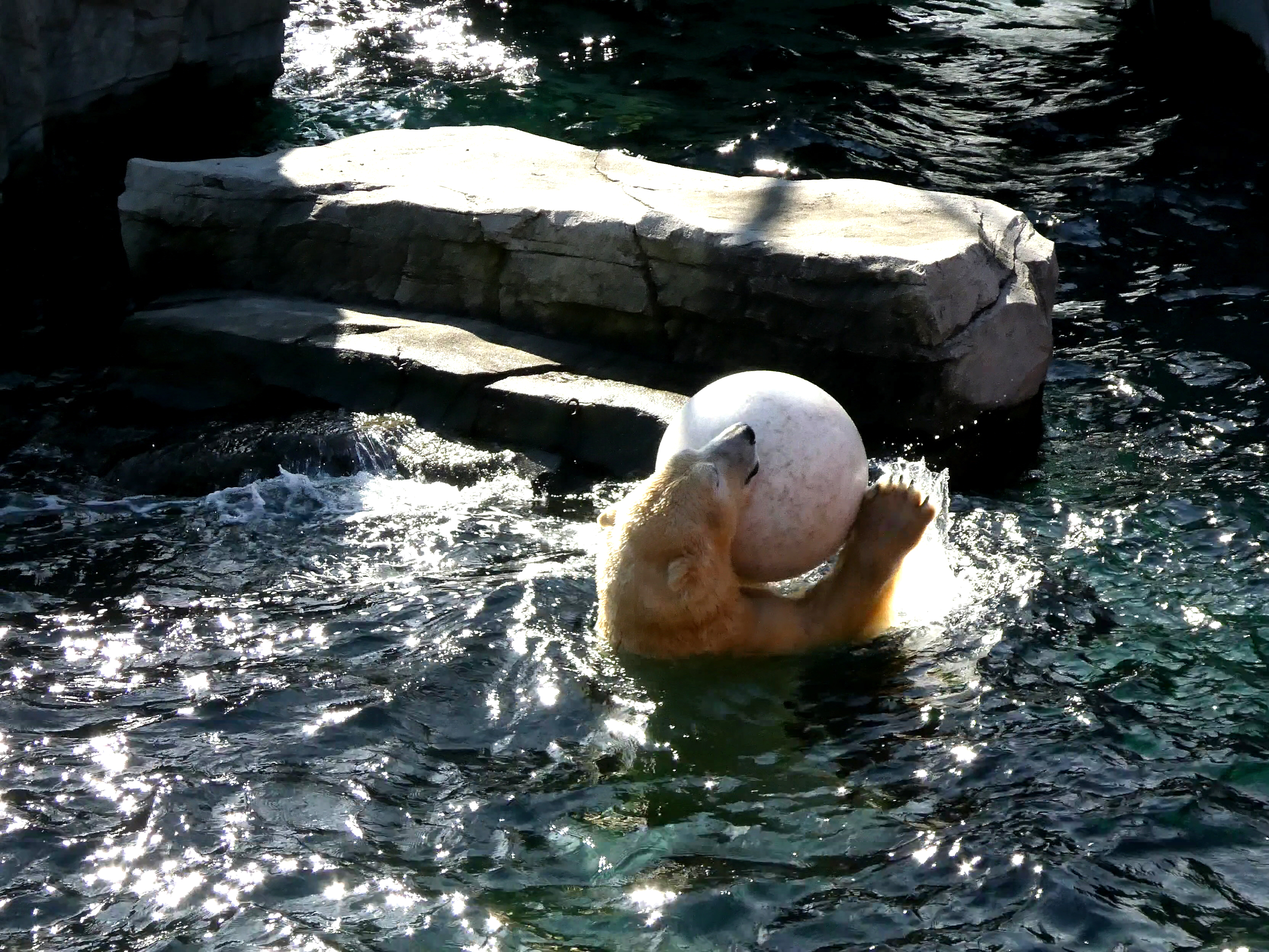 Eisbär  (24)