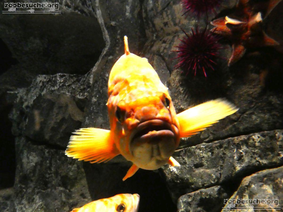 Kanariengelber Felsenfisch