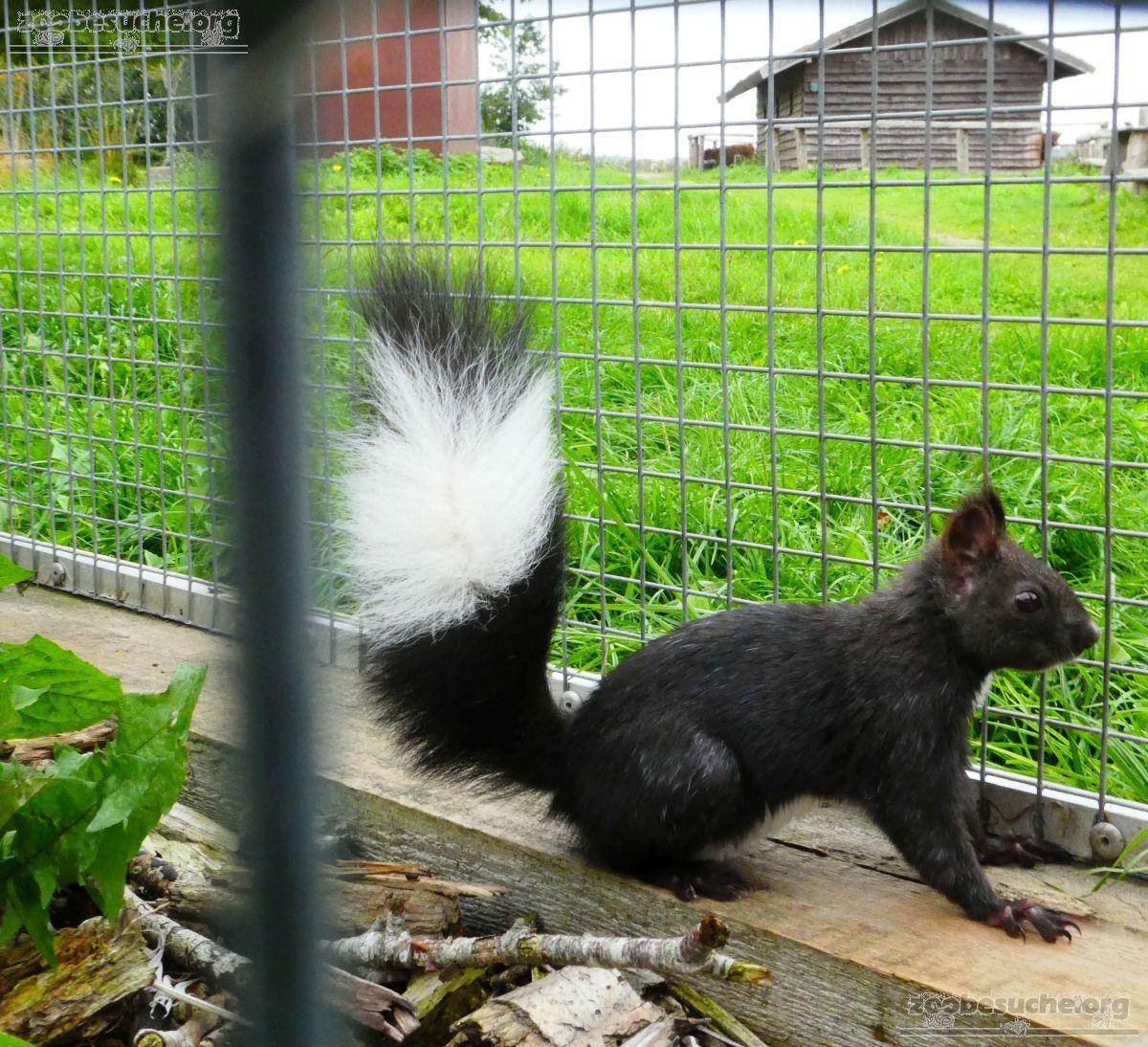 Japanisches_Eichhörnchen