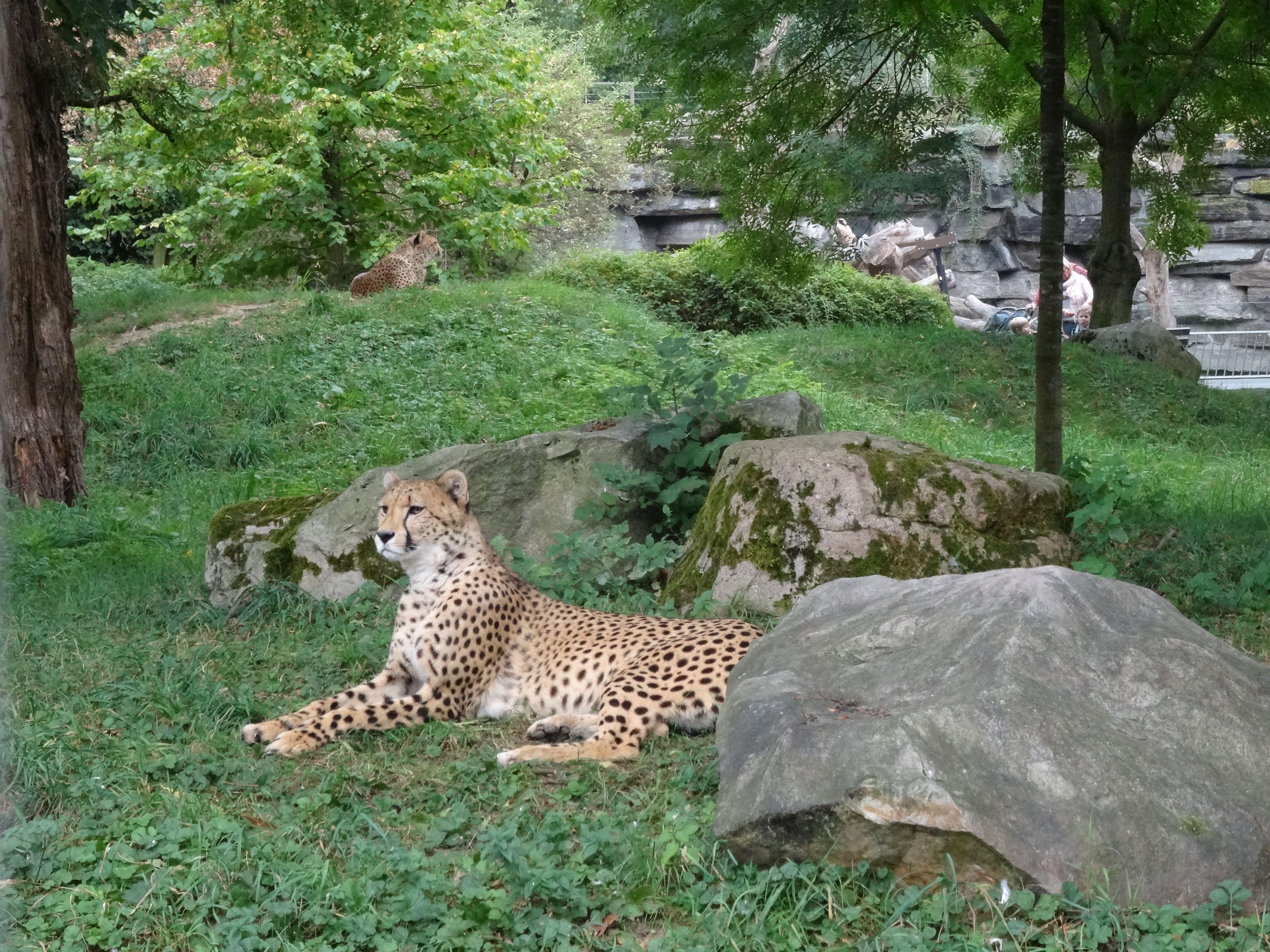 Gepard  (11)