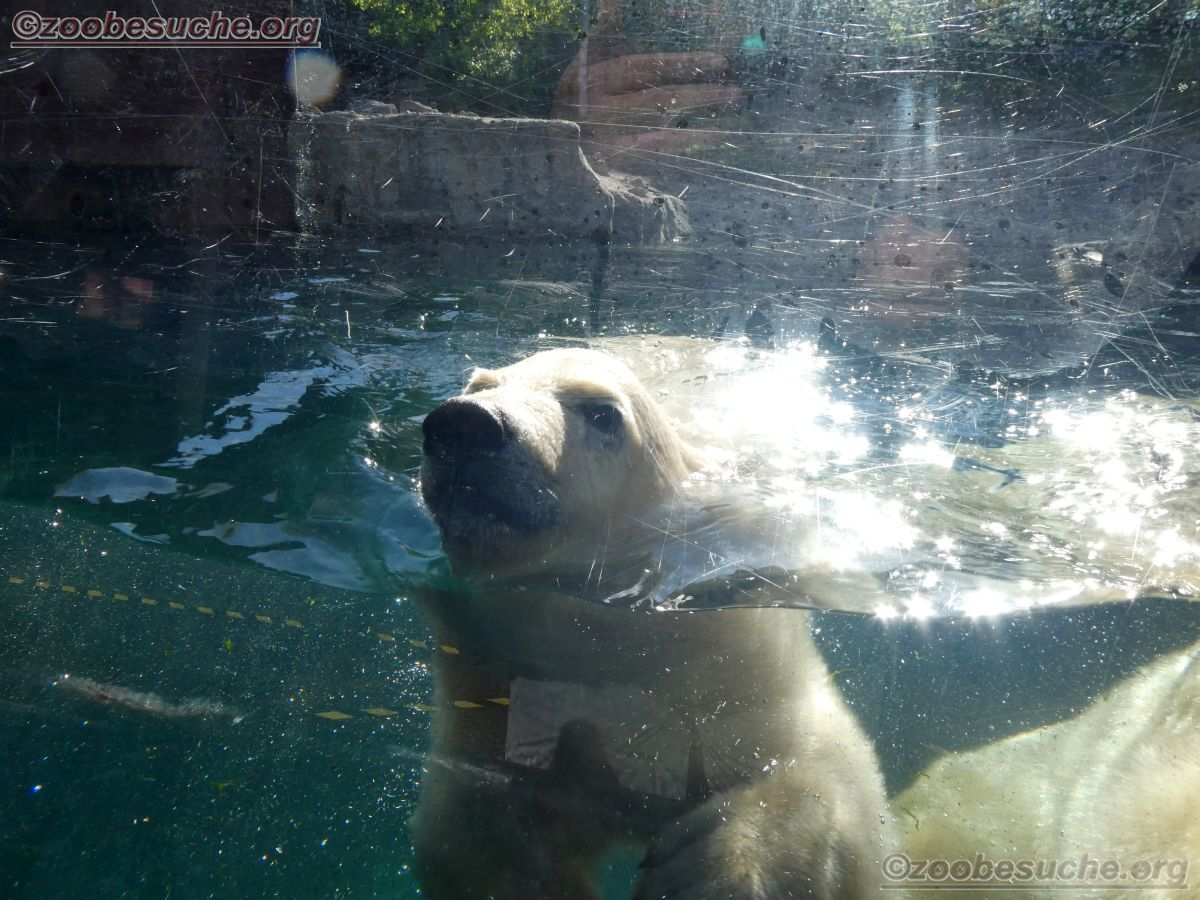 Eisbär  (21)
