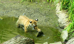 Tiger Jungtiere  (33)
