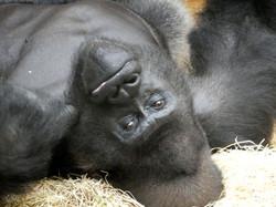 Gorilla Buzandi  (3)