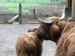 Highland Rind  (7)