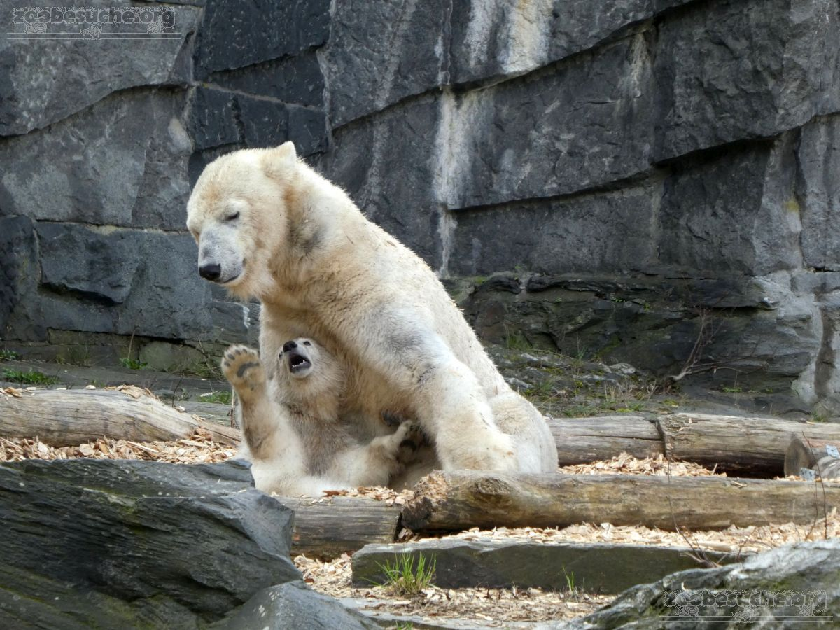 Eisbär  (53)
