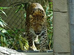 Leopard Julius  (17)
