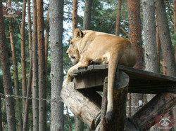 Löwen (8)