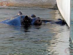 Flusspferde (3)