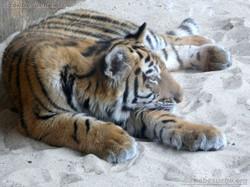 Tiger Jungtier (7)