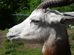 Antilope (1)