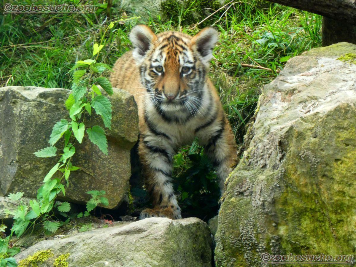 Tiger Jungtiere  (41)