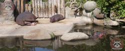 Flusspferde (2)