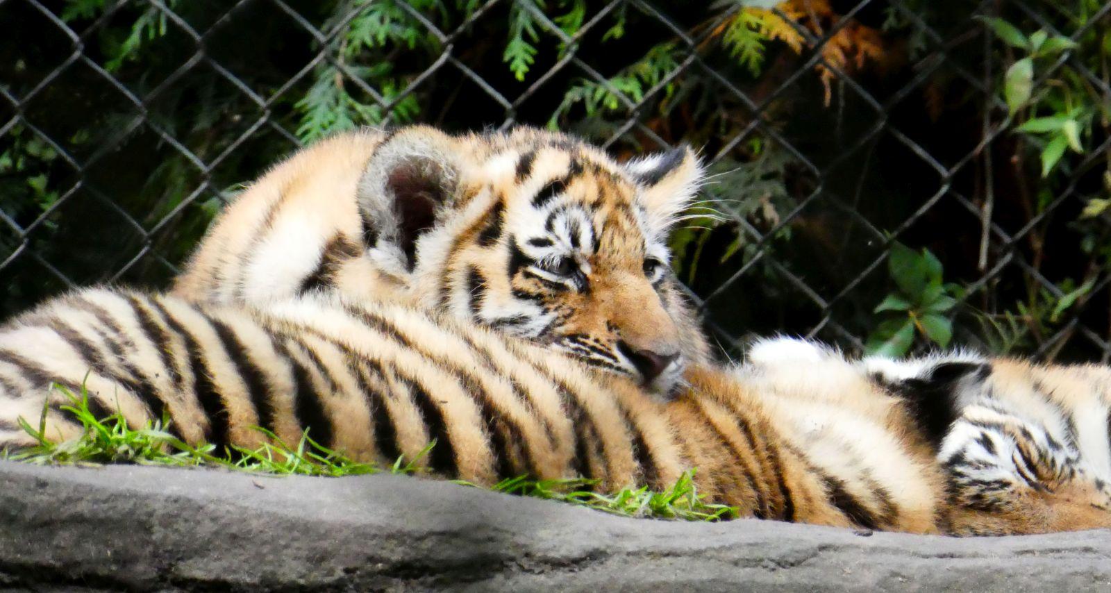 Tiger  (20)