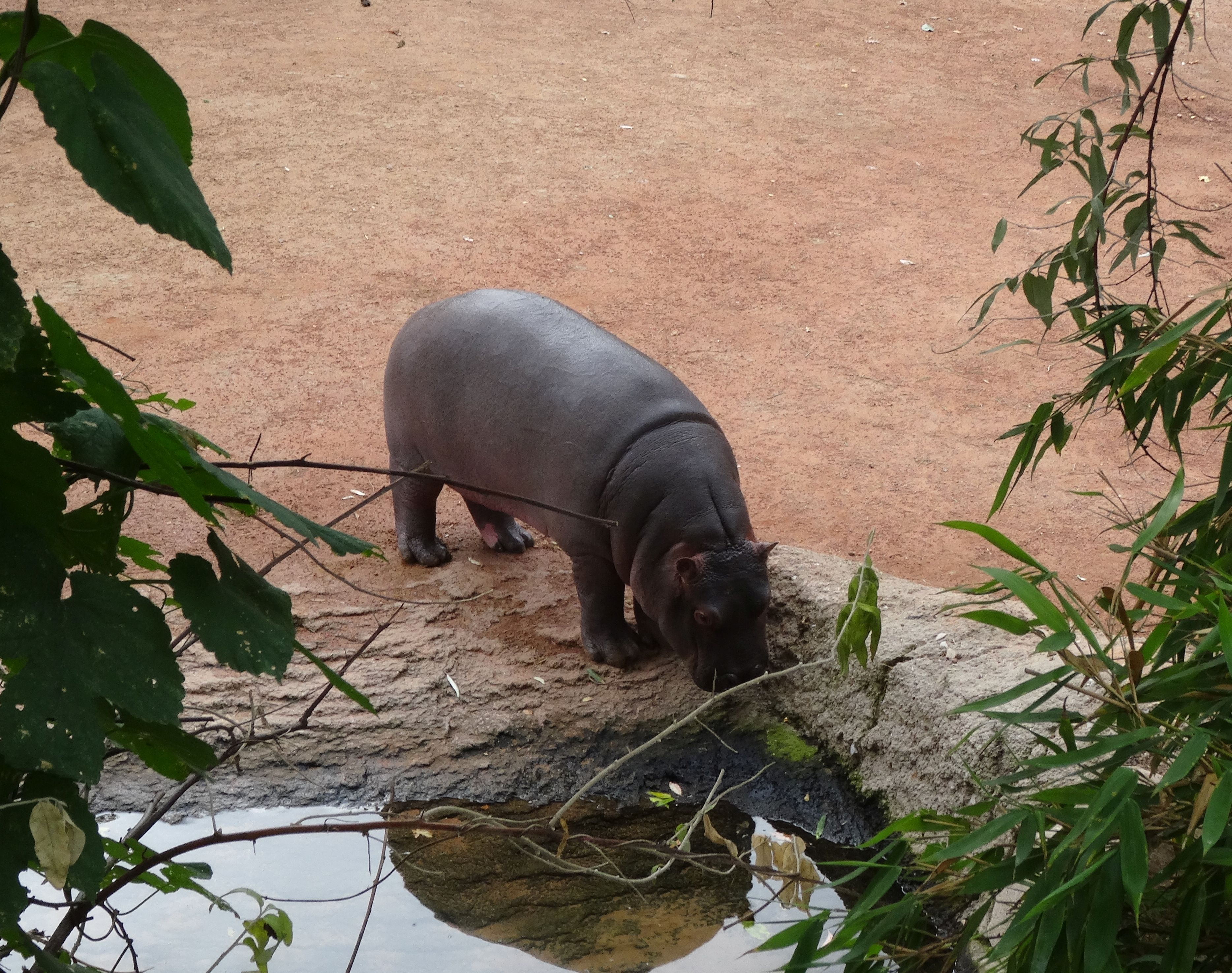 Flusspferd  (5)