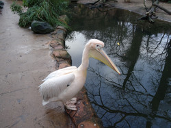 Pelikan  (6)