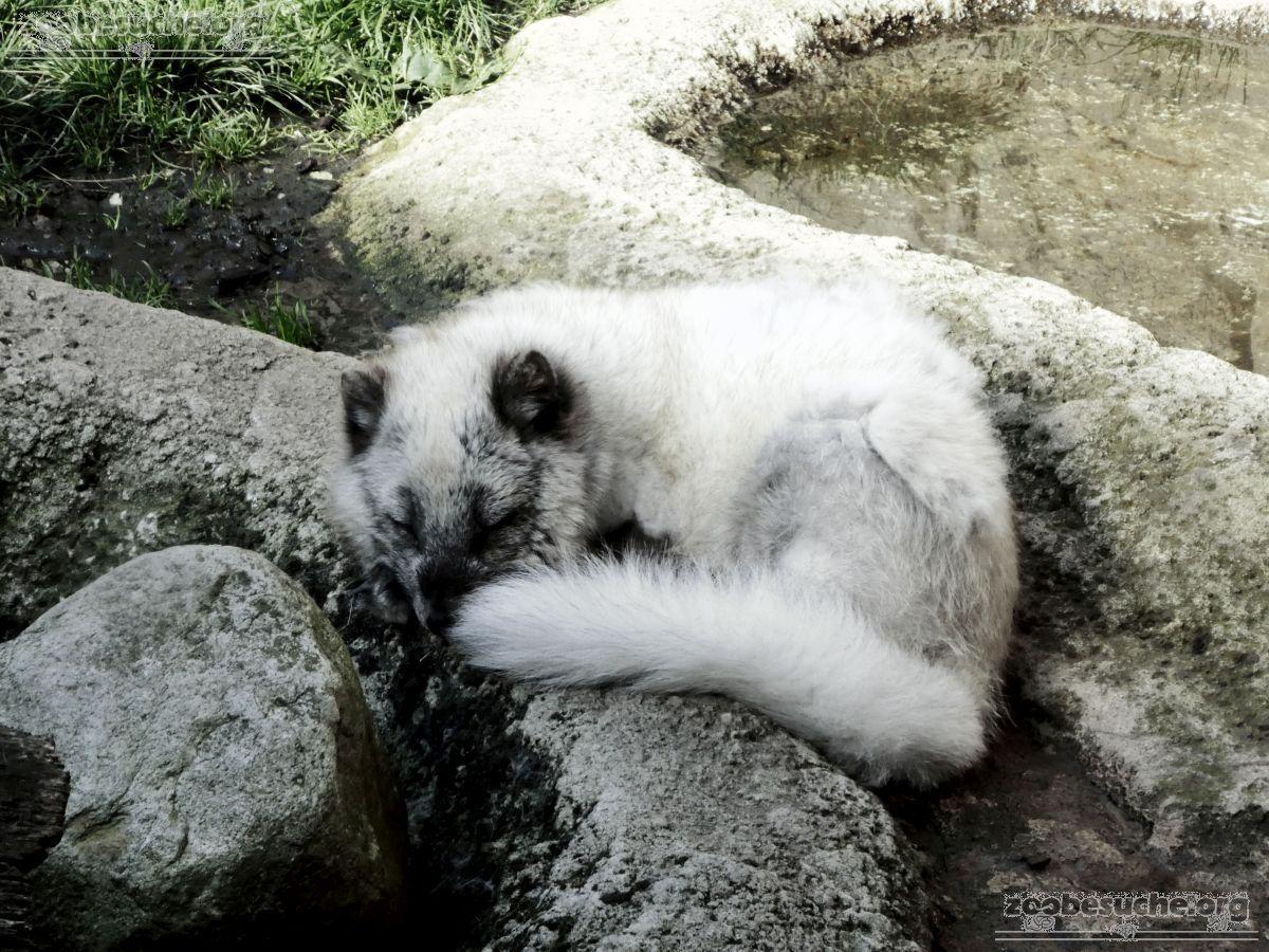 Polarfuchs  (4)