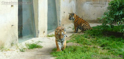 Tigerjungtiere  (5)