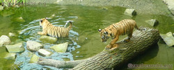 Tiger Jungtiere  (31)