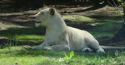 Löwe Weiß  (2)