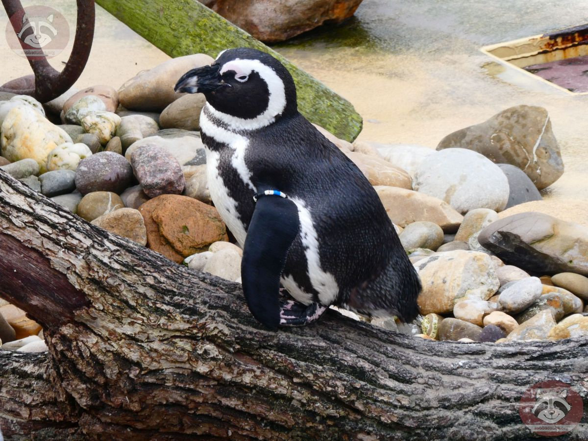 Pinguin (1)