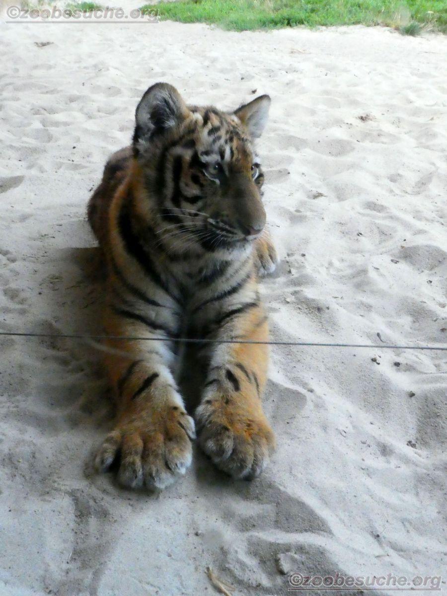 Tiger Jungtier Jaro  (9)
