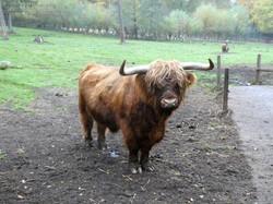 Highland Rind  (9)