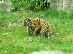 Tiger Jungtiere  (47)