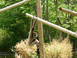 Gibbon  (2)