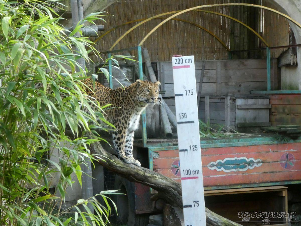 Leopard Julius  (18)