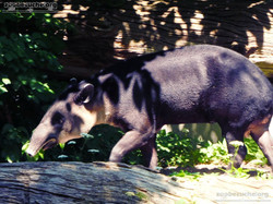 Mittelamerikanischer Tapir  (19)