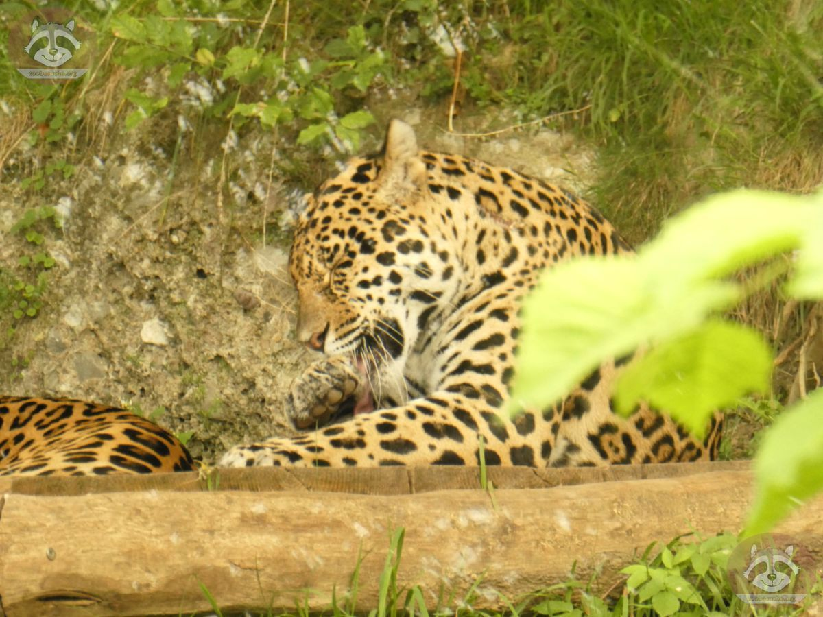 Jaguar (4)